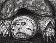 Black colored pencil and conte crayon on stipple board of a large female snapping turtle.  This image available as a notecard.